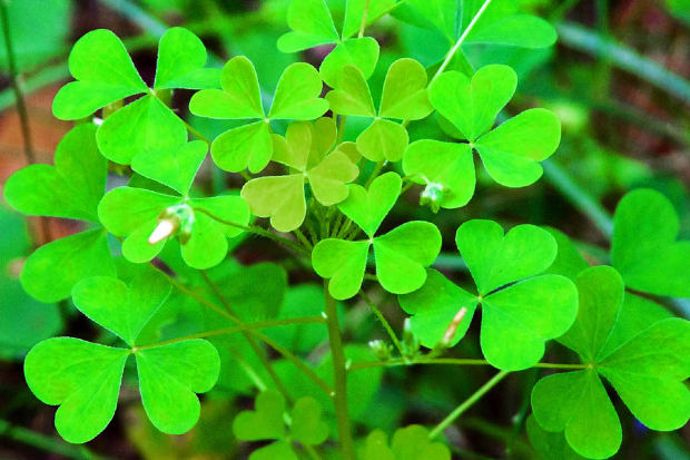 patch of clovers